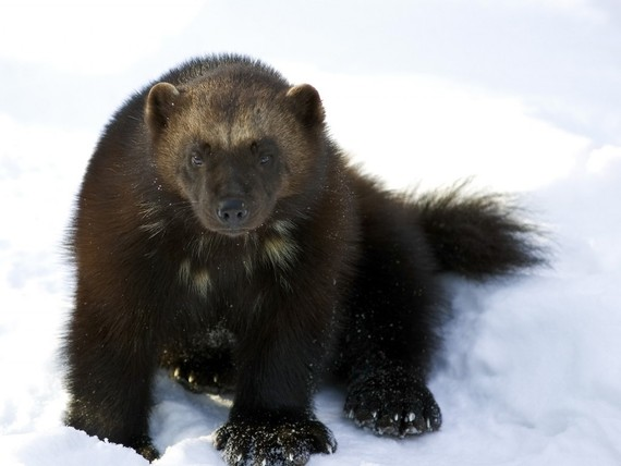 The wolverine, a species at risk of extinction due to climate change.
