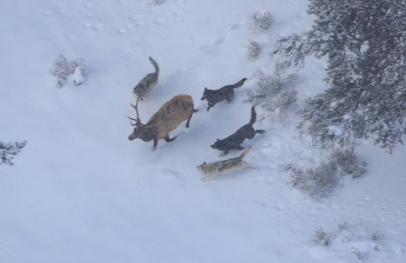 Wolves hunting in Yellowstone. National Park Service photo.