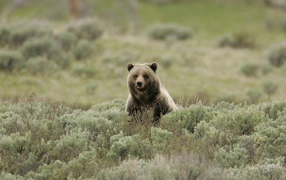 Yellowstone grizzly bear. National Park Service photo.