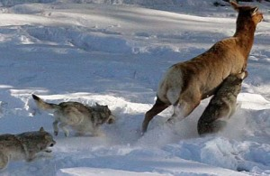 Elk running from wolves. Photo courtesy National Parks Service.