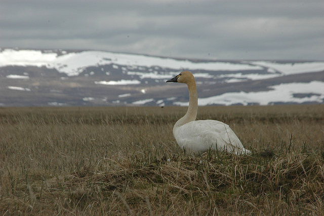 A tundra swan in the Yukon Delta National Wildlife Refuge. Photo by Alaska Region U.S. Fish & Wildlife  Service, used under Creative Commons licensing.