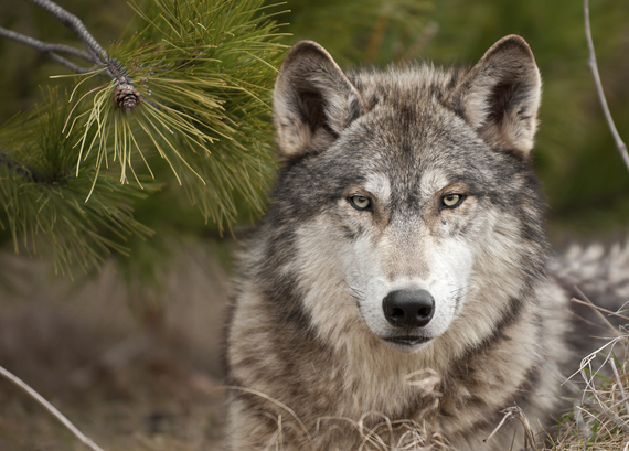 Intense Timber Wolf (Canis lupus) Sits Under Pine