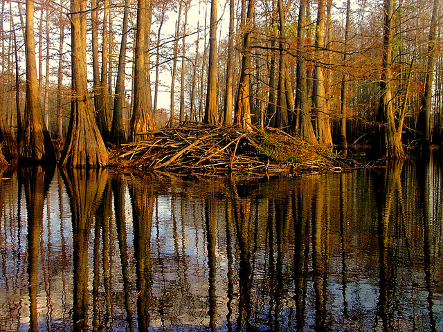 A beaver lodge in northeast Louisiana. Photo by finchlake2000, used under Creative Commons licensing.