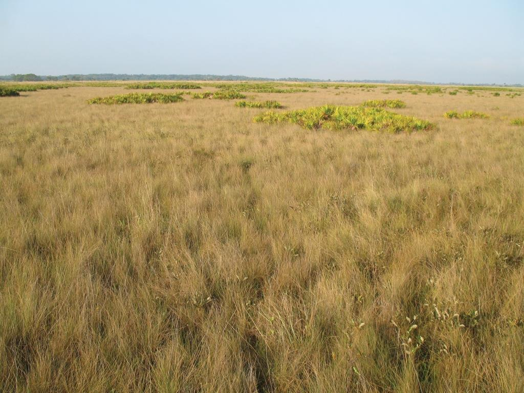 """Florida dry prairie at Kissimmee Prairie Preserve State Park. Once covering more than 1.2 million acres, the dry prairie has been reduced by around 90%, mostly due to conversion to """"improved"""" pasture. Still, tens of thousands of acres remain in relatively large blocks, making this one of the most extensive grasslands in the South."""