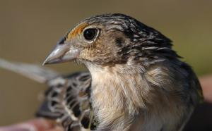 The Florida grasshopper sparrow (Ammodramus savannarum floridanus), endemic to the Florida dry prairie, federally listed as endangered, and declining rapidly for reasons that are not entirely understood. This is probably the most highly imperiled bird in the continental United States.