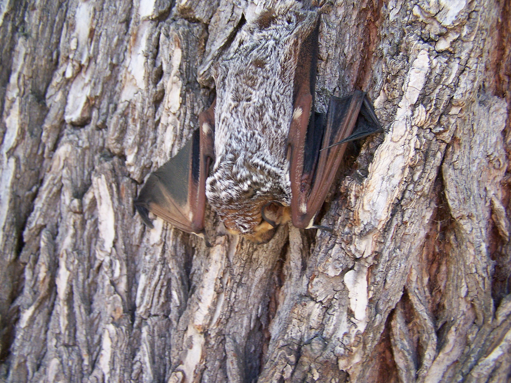 A hoary bat, Lasiurus cinereus). Photo by Bryant Olsen, used under Creative Commons licensing.