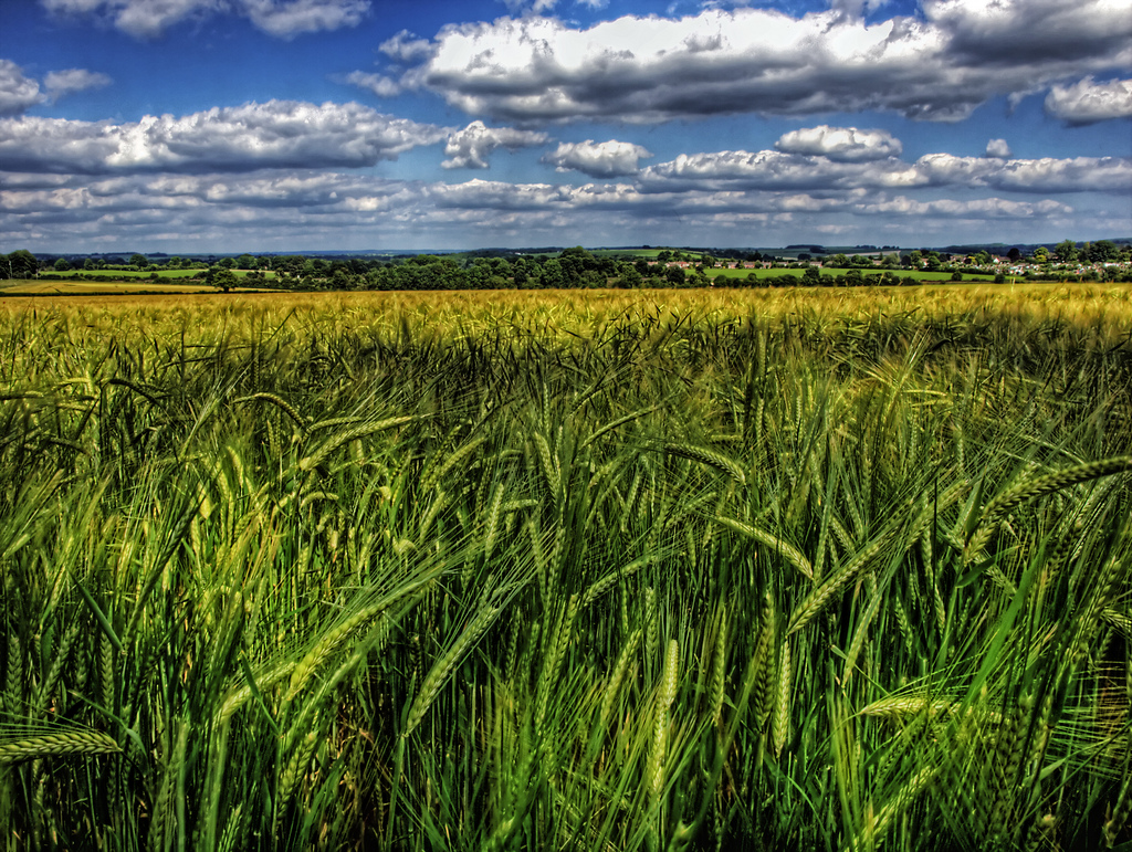 A barley field in England. Photo by Neil Howard, used under Creative Commons licensing.