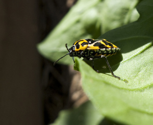Harlequin beetle. Photo by TCDavis, used under Creative Commons licensing.