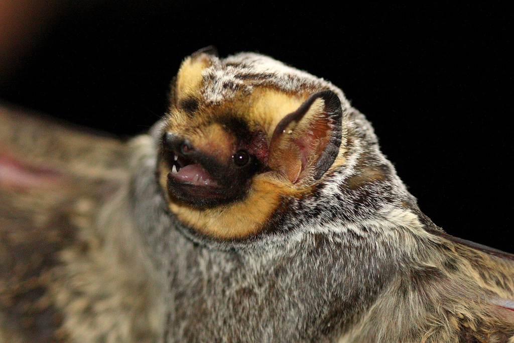 A hoary bat, Lasiurus cinereus. Photo by J.N. Stuart, used under Creative Commons licensing.