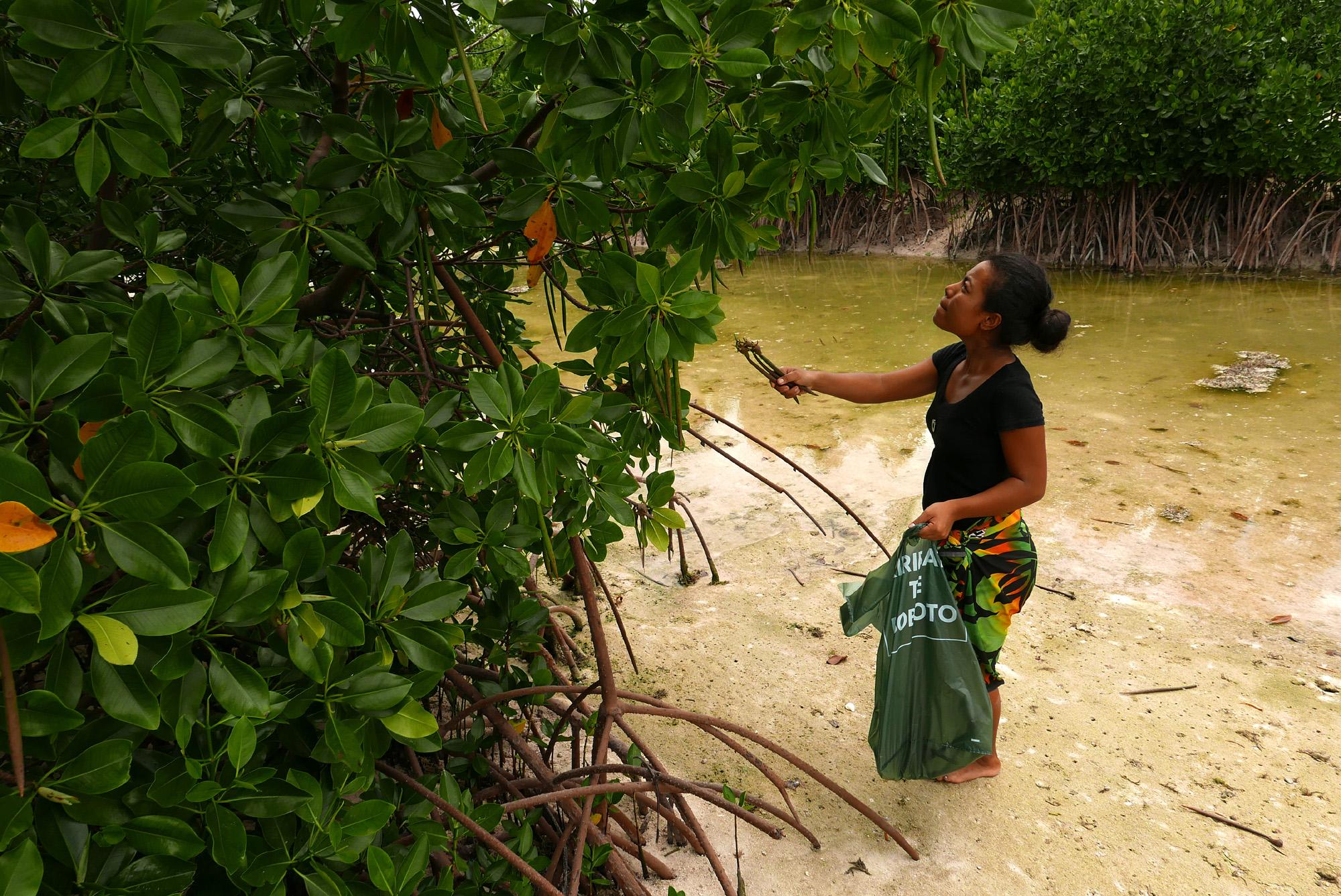 Tinaai Teaua picking mangrove seedlings to be planted in Kiribati. Photo by Kennedy Warne.